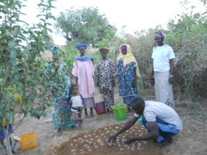 Technique de mise en germination de la Pomme de terre au jardin scolaire de Yarou 3