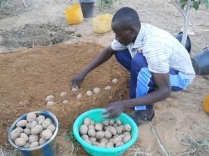 Technique de mise en germination de la Pomme de terre au jardin scolaire de Yarou1
