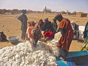 Partage de coton par les femmes de Sal-Dimi par les membres de coton.